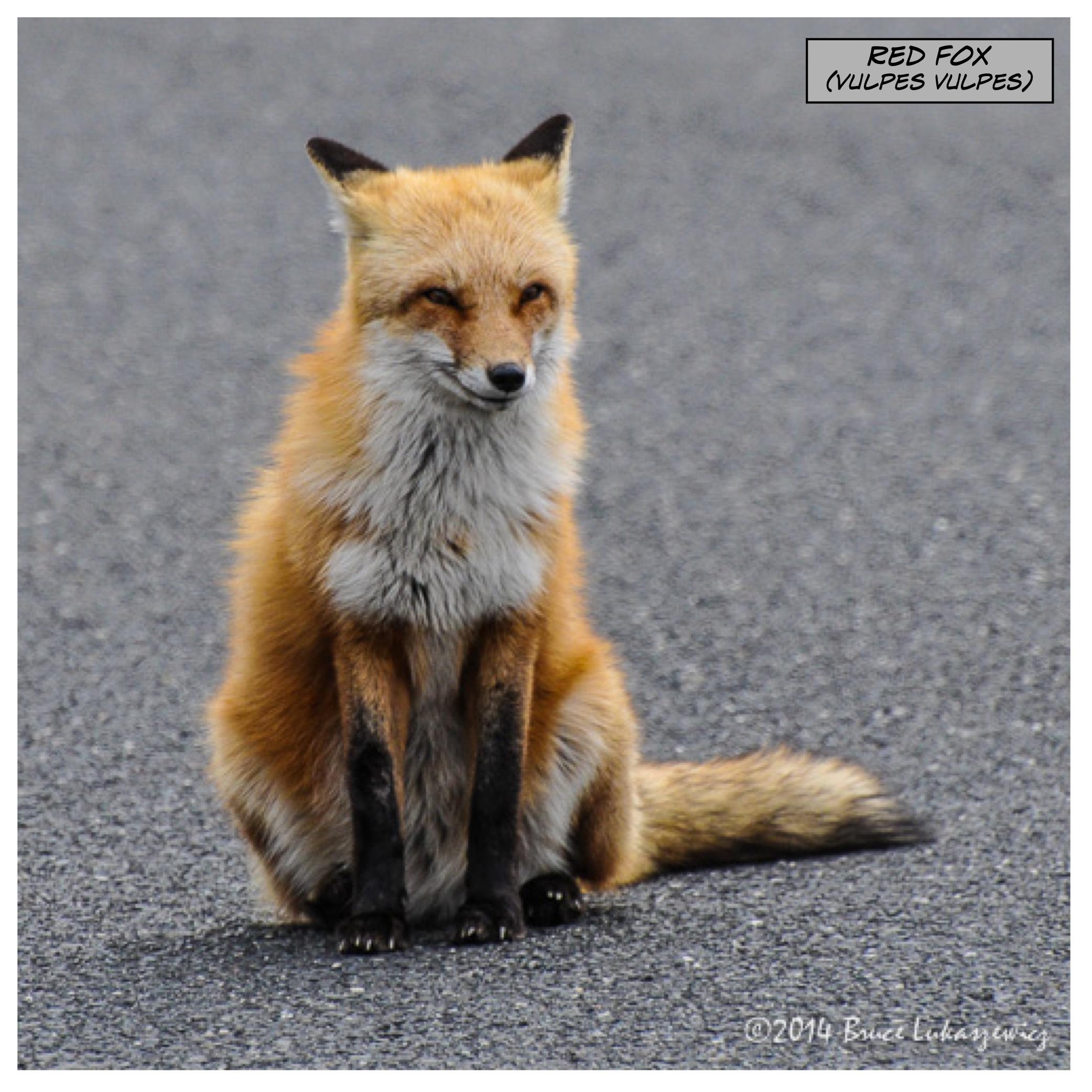 Red Fox - Island Beach State Park, NJ